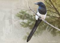 magpie near the mesa verde ruins
