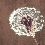 """ORL-2609-3 Dandelion-Perfect Harmony"" by Aneri"