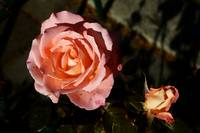 Rose and rosebud in rich pink