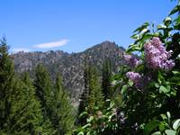 Mountain Lilacs