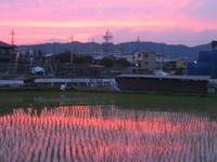 Pink Sunset Reflection in Rice Field
