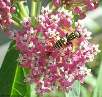 Yellow Jacket On Pink Butterfly Plant