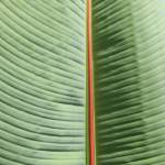 """Banana Leaf"" by rhamm"