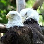 """Bald Eagles"" by zenlady"
