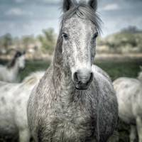 young horse Art Prints & Posters by Jody Miller