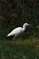 Cattle Egret in Wildflowers