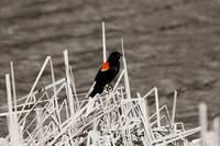 Red Winged Black Bird Perched on Marsh Grass