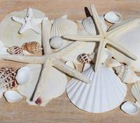 ORL-5231-1 White Sea Shells