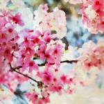 """ORL-5963 Cherry flowers V"" by Aneri"