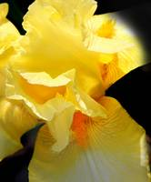 Yellow Iris Close-up 2016