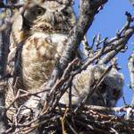 """Great Horned Owl and Owlet"" by ralphnelsen"