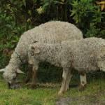 """""""Grazing Sheep"""" by rhamm"""