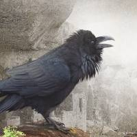 raven at mesa verde Art Prints & Posters by r christopher vest