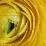 """Ranunculus"" by nailiaschwarz"