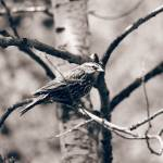 """Female Red Winged Blackbird"" by rhamm"