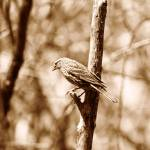 """Female Red Winged Blackbird on a Tree"" by rhamm"