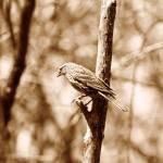 """Female Red Winged Blackbird on a Tree"" by rhamm"
