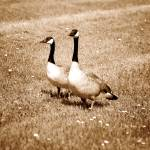 """2013-10-04 Sepia Pair of Canada Geese on grass wit"" by rhamm"