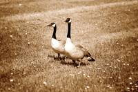 Pair of Canada Geese on Grass
