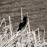 """""""2013-10-04 Sepia Red Winged Black Bird perched on"""" by rhamm"""