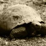 """2015-03-05 Sepia Giant Tortoise"" by rhamm"
