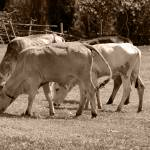 """Bulls in a Pasture"" by rhamm"