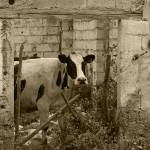 """Cow in a Demolished Building"" by rhamm"