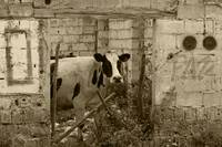 Cow in a Demolished Building