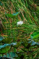 White Lotus in ruarl Thailand