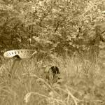 """2015-03-17 Sepia Antique Farm Equipment in a field"" by rhamm"