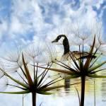 """""""Goose Poem"""" by ZOlga"""