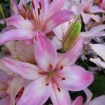 """""""Pink Lilies"""" by joeyartist"""
