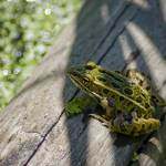 """Frog on a Log"" by robertllynch"