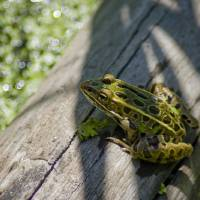 Frog on a Log Art Prints & Posters by Robert Lynch