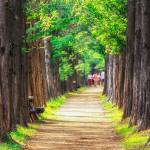 """Walking Through Metasequoia Road"" by aaronchoi"