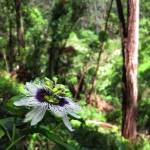 """Wild Passiflora in the Hawaiian rain forest."" by joeyartist"