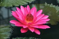 Perfect Pink Petals Of A Waterlily
