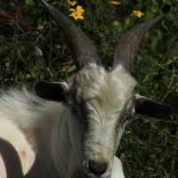 Goat Lying in Wildflowers Art Prints & Posters by Robert Hamm
