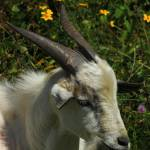 """2016-06-27 Goat in Wildflowers"" by rhamm"