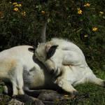 """""""2016-06-27 Sleeping Goat"""" by rhamm"""