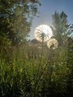 Meadow Salsify sunset