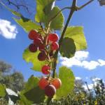 """sunlit grapes, Kat Heatherington, 8x10"" by yarrow"