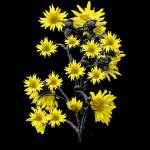 """Sunflowers over Black"" by danfleitesart"