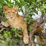 """Safari Lion"" by GlobalPhotos"
