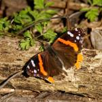 """Red Admiral Butterfly"" by AriasPhotos"