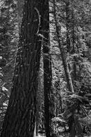 Forest B/W