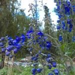 """Blue Delphinium"" by AKsmanyvisuals"