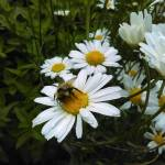 """""""Bumble Bee on a Daisy"""" by AKsmanyvisuals"""