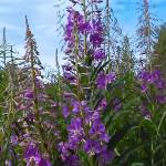 """""""Blue sky in fireweed"""" by AKsmanyvisuals"""