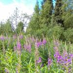 """""""Field of fireweed"""" by AKsmanyvisuals"""